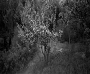 Apple Tree in Quarry, Vinalhaven, Maine