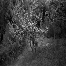 Apple Tree in Quarry, Vinalhaven, Maine