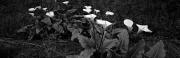 Calla Lilies, Pacific Grove, California